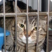 Domestic Shorthair Cat for adoption in Wildomar, California - 339750