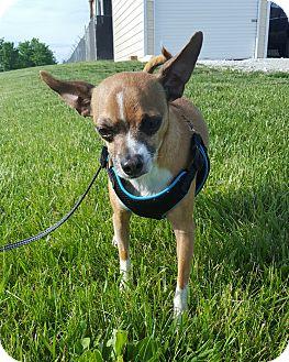 Chihuahua Mix Dog for adoption in Hawk Point, Missouri - Sir Rigsy