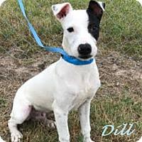 Adopt A Pet :: Dill in Seguin/San Antonio - San Antonio, TX