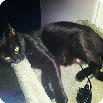 Domestic Shorthair Cat for adoption in Greenville, South Carolina - Tootsie
