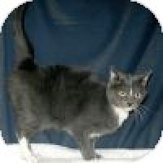 Domestic Shorthair Cat for adoption in Powell, Ohio - Vinnie