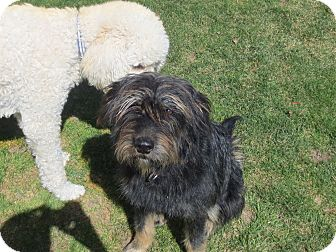 Airedale Terrier Mix Puppy for adoption in Ogden, Utah - Sif