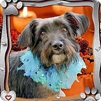Adopt A Pet :: Scottie big charmer - Sacramento, CA