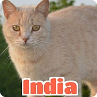Adopt A Pet :: #2-3737 India - foster GB - Lawrenceburg, KY
