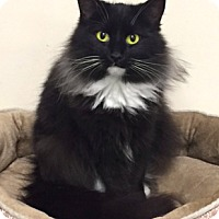 Domestic Longhair Cat for adoption in Johnson City, Tennessee - Ruby