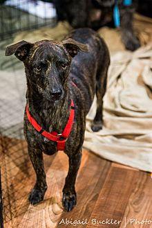 Whippet/Hound (Unknown Type) Mix Dog for adoption in Henderson, Nevada - Dingo