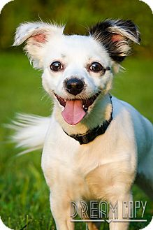 Chihuahua/Jack Russell Terrier Mix Dog for adoption in Owensboro, Kentucky - Izzy