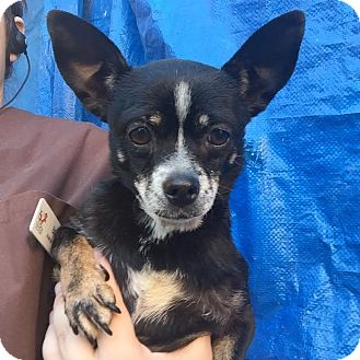 Chihuahua Mix Dog for adoption in Westminster, California - Alice