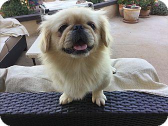Pekingese Dog for adoption in El Cajon, California - Otis (in adoption process)