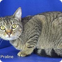 Adopt A Pet :: Praline - Carencro, LA