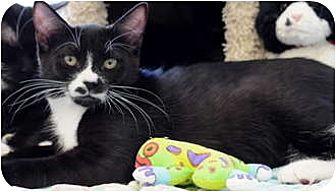 Domestic Shorthair Cat for adoption in Fremont, California - Henry 05-3650