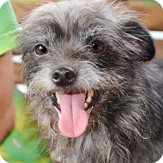 Wirehaired Fox Terrier Mix Dog for adoption in Ocala, Florida - Sissy