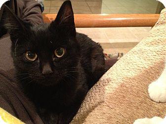 Domestic Shorthair Kitten for adoption in East Hanover, New Jersey - Panda