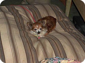 Chihuahua Dog for adoption in Freeport, New York - Annabella Mozzerella