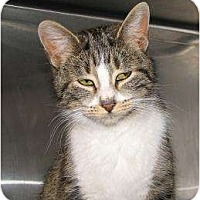 Domestic Shorthair Cat for adoption in Woodstock, Illinois - Tricia