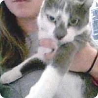 Domestic Shorthair Cat for adoption in Miami, Florida - Rosie