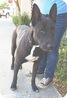 Shepherd (Unknown Type) Mix Dog for adoption in Ventura, California - Fiona