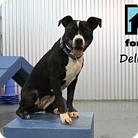 Adopt A Pet :: Delilah - Chicago, IL