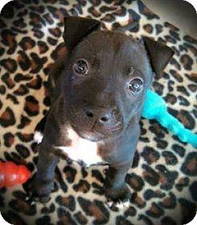 Labrador Retriever/Hound (Unknown Type) Mix Puppy for adoption in Ocala, Florida - Maggie