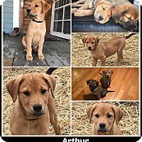 Adopt A Pet :: ARTHUR - Malvern, AR