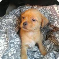 Adopt A Pet :: Puddinpup - Denver, CO