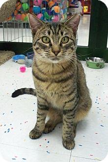 Domestic Shorthair Kitten for adoption in Fountain Hills, Arizona - JAVABEAN