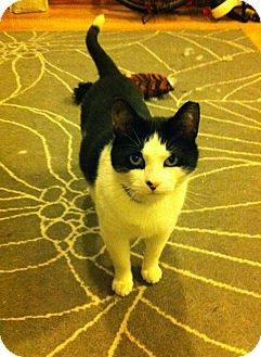 Domestic Shorthair Cat for adoption in Brooklyn, New York - Stapley