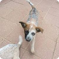 Adopt A Pet :: Punkin - Conway, AR