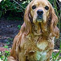 Adopt A Pet :: Buffy - Sugarland, TX
