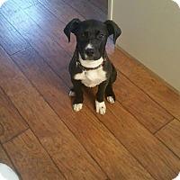 Adopt A Pet :: Luke - Sinking Spring, PA