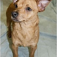 Dachshund Mix Dog for adoption in Colton, California - Mikey