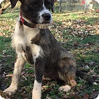 Adopt A Pet :: Gizmo - Simpsonville, SC