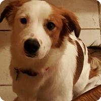 Adopt A Pet :: TX/LuLu (Adoption Pending) - Normal, IL