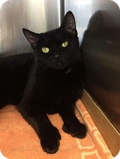 Hemingway/Polydactyl Cat for adoption in East Brunswick, New Jersey - Clara