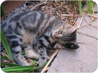 Domestic Shorthair Cat for adoption in Morgan Hill, California - Pretty
