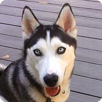Adopt A Pet :: Calico - Horsham, PA