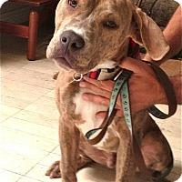 Adopt A Pet :: Maple - Santa Monica, CA