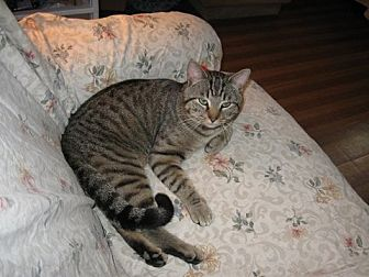 Domestic Shorthair Cat for adoption in Rutledge, Tennessee - Mr. Spiff
