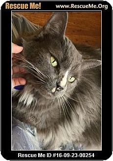 Maine Coon Cat for adoption in Waldorf, Maryland - Rocky
