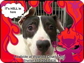 Boxer/Pit Bull Terrier Mix Dog for adoption in Upper Sandusky, Ohio - LITTLE JOHN