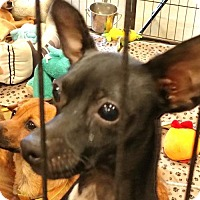 Adopt A Pet :: LIT'L MAN - Anderson, SC