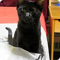 Domestic Shorthair Kitten for adoption in Grinnell, Iowa - Portia