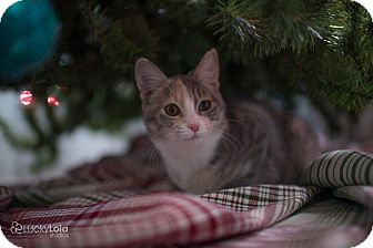 Calico Kitten for adoption in Columbus, Ohio - Baby Charlotte
