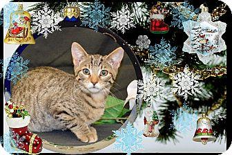 Domestic Shorthair Kitten for adoption in Richmond, Virginia - Paul