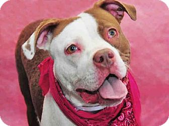 Pit Bull Terrier Dog for adoption in Louisville, Kentucky - MOLLY