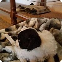 Adopt A Pet :: Buttercup - springtown, TX