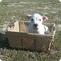 Adopt A Pet :: Marshmallow - Ocala, FL