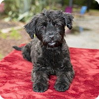 Adopt A Pet :: Strawberry--sweet little poodle mix pup-N - Santa Fe, TX