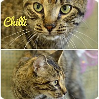 Adopt A Pet :: CHILLI - THORNHILL, ON