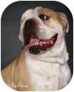 English Bulldog Dog for adoption in conyers, Georgia - Max
